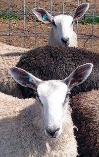 Gigrin_ewe_lambs_2